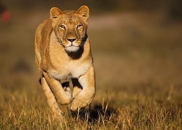 African Lion (Panthera leo) female named Sirga running, Kalahari, Botswana  -  Theo Allofs