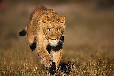 African Lion (Panthera leo) female named Sirga running, Kalahari, Botswana  -  Theo Allofs