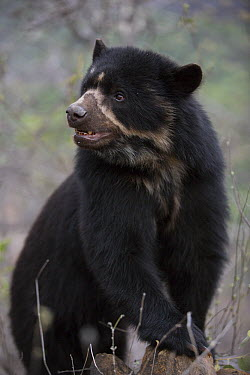 Spectacled Bear (Tremarctos ornatus), Chaparri Reserve, Peru  -  Cyril Ruoso