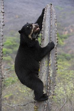 Spectacled Bear (Tremarctos ornatus) climbing cactus, Chaparri Reserve, Peru  -  Cyril Ruoso