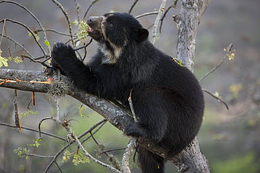 Spectacled Bear (Tremarctos ornatus) feeding in tree, Chaparri Reserve, Peru  -  Cyril Ruoso
