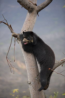 Spectacled Bear (Tremarctos ornatus) in tree, Chaparri Reserve, Peru  -  Cyril Ruoso