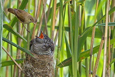 Common Cuckoo (Cuculus canorus) chick and Eurasian Reed-Warbler (Acrocephalus scirpaceus), Saxony-Anhalt, Germany  -  Thomas Hinsche/ BIA