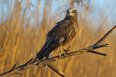Western Marsh-Harrier (Circus aeruginosus) female, Saxony-Anhalt, Germany  -  Thomas Hinsche/ BIA