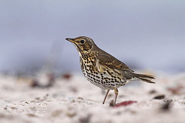 Song Thrush (Turdus philomelos), Schleswig-Holstein, Germany  -  Volker Hesse/ BIA