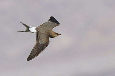 Collared Pratincole (Glareola pratincola) flying, Eilat, Israel  -  Volker Hesse/ BIA