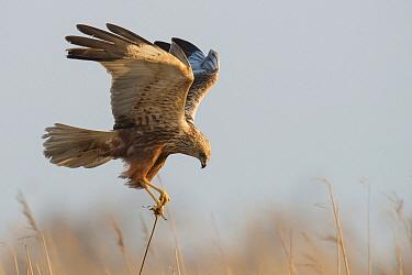 Western Marsh-Harrier (Circus aeruginosus) male landing, Schleswig-Holstein, Germany  -  Matthias Schulte/ BIA