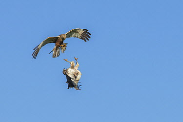 Western Marsh-Harrier (Circus aeruginosus) male fighting with Common Buzzard (Buteo buteo), Schleswig-Holstein, Germany  -  Matthias Schulte/ BIA