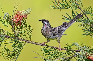 Red Wattlebird (Anthochaera carunculata), Victoria, Australia  -  Greg Oakley/ BIA