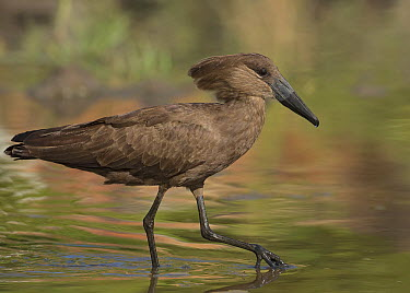 Hamerkop (Scopus umbretta) wading, Gambia  -  David Williams/ BIA
