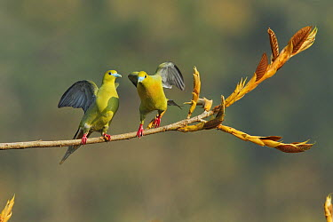 Pin-tailed Green-Pigeon (Treron apicauda) pair taking flight, Darjeeling, India  -  Debapratim Saha/ BIA