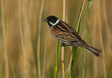 Reed Bunting (Emberiza schoeniclus) male, Mecklenburg-Vorpommern, Germany  -  Chris Romeiks/ BIA