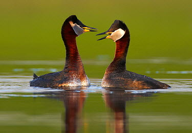 Red-necked Grebe (Podiceps grisegena) pair courting, Mecklenburg-Vorpommern, Germany  -  Chris Romeiks/ BIA
