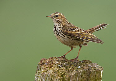 Meadow Pipit (Anthus pratensis), Schleswig-Holstein, Germany  -  Chris Romeiks/ BIA