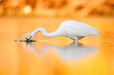 Great Egret (Ardea alba) fishing, Florida  -  Jiri Slama/ BIA