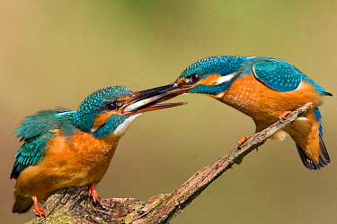 Common Kingfisher (Alcedo atthis) pair exchanging fish during courtship, Saxony-Anhalt, Germany  -  Thomas Hinsche/ BIA