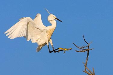 Little Egret (Egretta garzetta) landing, Camarque, France  -  Thomas Hinsche/ BIA