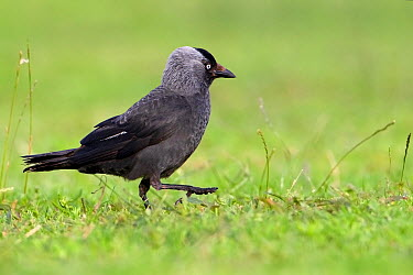Eurasian Jackdaw (Corvus monedula), Saxony-Anhalt, Germany  -  Thomas Hinsche/ BIA