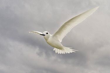 White Tern (Gygis alba) flying, Hawaii  -  E.J. Peiker/ BIA