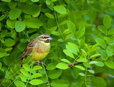 Cirl Bunting (Emberiza cirlus), Rhineland-Palatinate, Germany  -  Rosl Roessner/ BIA
