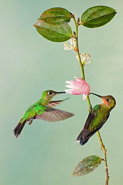 Green-crowned Brilliant (Heliodoxa jacula) hummingbird pair feeding on flower nectar, Costa Rica  -  Greg Basco/ BIA