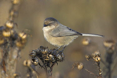 Bushtit (Psaltriparus minimus), British Columbia, Canada  -  Glenn Bartley/ BIA