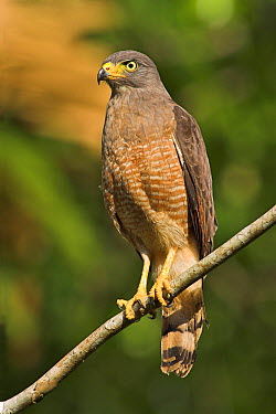 Roadside Hawk (Buteo magnirostris), Costa Rica  -  Glenn Bartley/ BIA