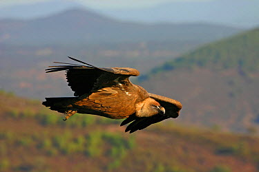 Griffon Vulture (Gyps fulvus) flying, Extremadura, Spain  -  Christine Jung/ BIA