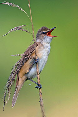 Great Reed-Warbler (Acrocephalus arundinaceus) male calling, Saxony, Germany  -  Oliver Richter/ BIA