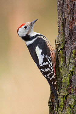 Middle Spotted Woodpecker (Dendrocopos medius), Saxony, Germany  -  Oliver Richter/ BIA