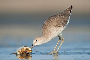Willet (Tringa semipalmata) feeding on crab carcass, Texas  -  Alan Murphy/ BIA