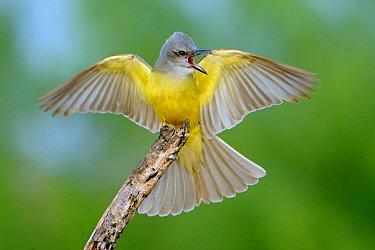 Couch's Kingbird (Tyrannus couchii) in defensive posture, Texas  -  Alan Murphy/ BIA