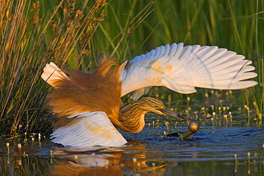 Squacco Heron (Ardeola ralloides) catching fish, Lesvos, Greece  -  Christine Jung/ BIA