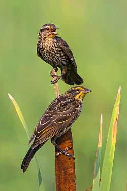 Red-winged Blackbird (Agelaius phoeniceus) females, Maryland  -  Bill Morales/ BIA