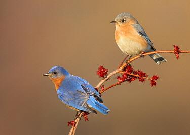 Eastern Bluebird (Sialia sialis) males, Ohio  -  Matthew Studebaker/ BIA