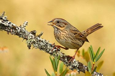 Lincoln's Sparrow (Melospiza lincolnii) calling, Ohio  -  Matthew Studebaker/ BIA