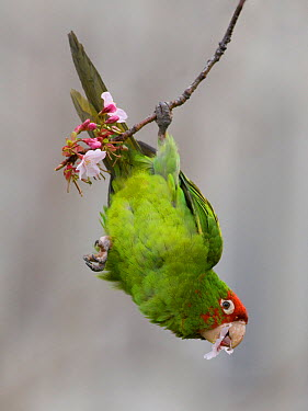 Red-masked Parakeet (Aratinga erythrogenys) feeding on flowers, California  -  Benjamin Knoot/ BIA