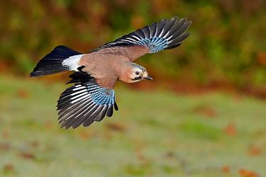 Eurasian Jay (Garrulus glandarius) flying, Wirral Peninsula, England, United Kingdom  -  Richard Steel/ BIA