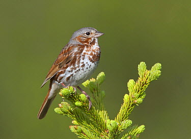 Fox Sparrow (Passerella iliaca), Alaska  -  Robert Royse/ BIA