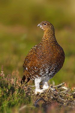 Red Grouse (Lagopus scoticus) female, Yorkshire, United Kingdom  -  Gerhard Hofmann/ BIA