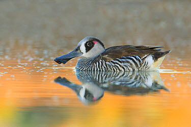 Pink-eared Duck (Malacorhynchus membranaceus) on water, New South Wales, Australia  -  Rob Drummond/ BIA