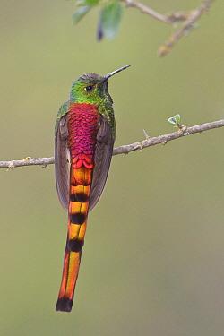 Red-tailed Comet (Sappho sparganura) hummingbird, Bolivia  -  Glenn Bartley/ BIA