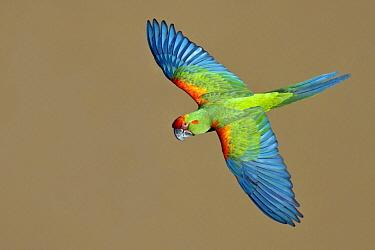 Red-fronted Macaw (Ara rubrogenys) flying, Bolivia  -  Glenn Bartley/ BIA