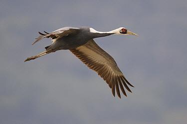 White-naped Crane (Grus vipio) flying, Arasaki Kagoshima Prefecture, Japan  -  Peter Waechtershaeuser/ BIA