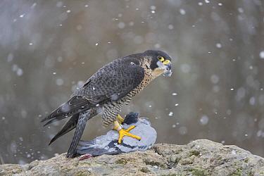 Peregrine Falcon (Falco peregrinus) female  feeding on Rock Dove (Columba livia) prey during snowfall, Saxony, Germany  -  Thomas Harbig/ BIA