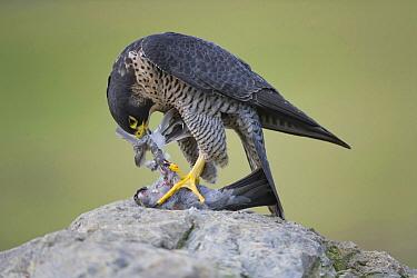 Peregrine Falcon (Falco peregrinus) female feeding on Rock Dove (Columba livia) prey, Saxony, Germany  -  Thomas Harbig/ BIA