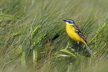 Blue-headed Wagtail (Motacilla flava) male, Saxony, Germany  -  Wolfram Riech/ BIA