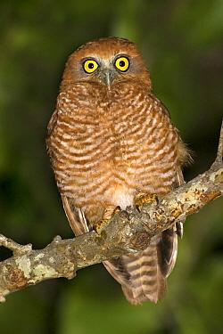 Christmas Boobook (Ninox natalis) owl, Christmas Island, Australia  -  Eric Sohn Joo Tan/ BIA