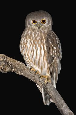 Barking Owl (Ninox connivens) at night, Kimberley, Western Australia, Australia  -  Eric Sohn Joo Tan/ BIA