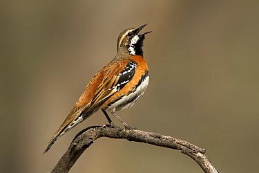 Chestnut-breasted Quail-thrush (Cinclosoma castaneothorax) calling male, Queensland, Australia  -  Eric Sohn Joo Tan/ BIA
